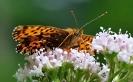 Papillons_122