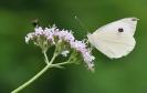 Papillons_124