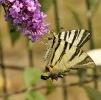 Papillons_127