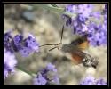 Papillons_132