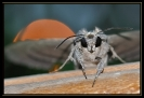 Papillons_138
