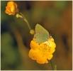 Papillons_64