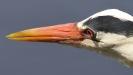 Oiseaux_91