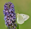 Papillons_130
