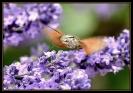 Papillons_131