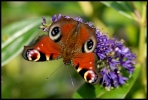 papillons_1